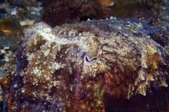 Calamaro che si nasconde per pescare piccolo pesce Fotografie Stock