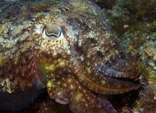 Calamaro che si nasconde per pescare piccolo pesce Immagini Stock Libere da Diritti