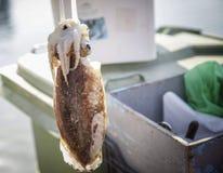 Calamaro d'attaccatura Immagini Stock Libere da Diritti