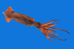 Calamaro fresco con i tentacoli presi primo piano isolato sul blu Fotografia Stock