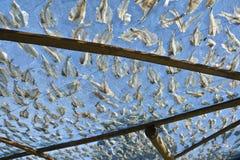 Calamaro secco Immagini Stock Libere da Diritti