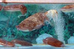 Calamaro in un serbatoio fotografia stock libera da diritti