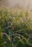 Calamintha vulgaris photos libres de droits