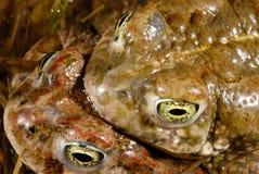 Calamita Bufo жабы Natterjack в Valdemanco, Мадриде, Испании Стоковое Изображение