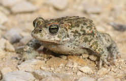 Calamita de Bufo Epidalea de crapaud de Natterjack C'est un amphibie très rare dans U k Images libres de droits