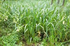 Calamo aromatico del Acorus della pianta della regione paludosa Immagini Stock