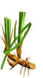 Calamo aromatico medico dell'erba Fotografie Stock Libere da Diritti