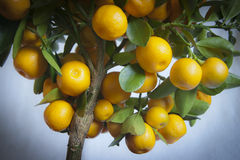 Calamondin Images stock