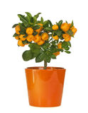 Calamondin Royalty Free Stock Image