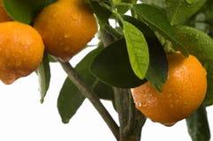 Calamondin Baum mit Frucht und Blättern Lizenzfreie Stockbilder