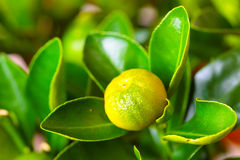 Calamondin branch with fruit Royalty Free Stock Image