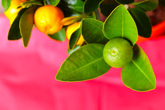 Calamondin branch on the pink background Stock Photo