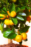 Calamondin branch Royalty Free Stock Photography