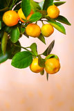 Calamondin branch. With ripe fruits, close up Royalty Free Stock Photos