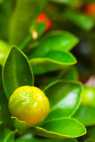 Calamondin branch, vertical Royalty Free Stock Photography
