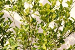 Calamondin Citrofortunella microcarparegion royaltyfria foton