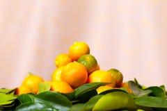 Calamondin citrus fruits Stock Photos