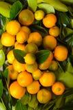Calamondin citrus fruits Royalty Free Stock Photo