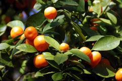 Calamondin Citrus Oranges. Native to China, (X Citrofortunella mitis), a showy ornamental, makes excellent marmalade. The juice is used to bleach ink stains Royalty Free Stock Image