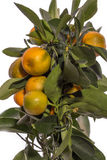 Calamondin Detail bush with fruits on branches Royalty Free Stock Image