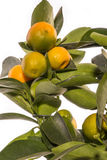 Calamondin Detail bush with fruits on branches Stock Image