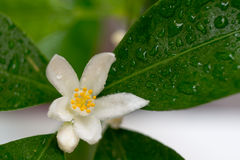 Calamondin di fioritura Fotografie Stock