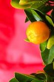 Calamondin-Frucht auf dem rosa Hintergrund Lizenzfreies Stockfoto