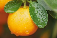 Calamondin fruit Royalty Free Stock Photography