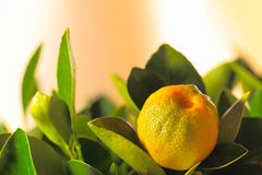 Calamondin fruit Stock Photo