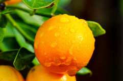 Calamondin Stock Photo