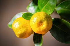 Calamondin fruits, cmall citrus. Small citrus Calamondin fruits on the branches, close up view Stock Images