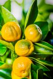 Calamondin fruits, cmall citrus. Small citrus Calamondin fruits on the branches, close up view Stock Image
