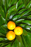 Calamondin fruits on green leaves Stock Photography