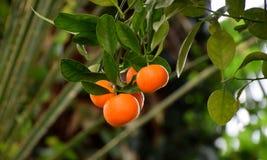Calamondin owoc na drzewie, Citrofurtunella microcarpa obrazy stock