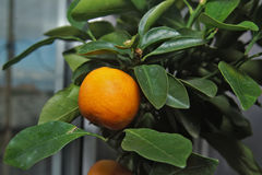 Calamondin. Scrub indoor citrus plants - Calamondin. Branch with green leaves and fruit Royalty Free Stock Image