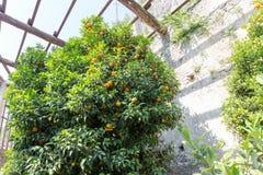 Calamondin träd Arkivbild