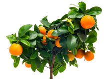Calamondin tree close-up Royalty Free Stock Photography