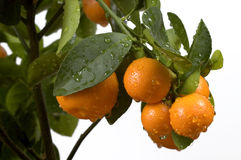 Calamondin tree with fruit and leaves. Orange frui Royalty Free Stock Photos