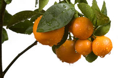 Calamondin tree with fruit and leaves. Orange frui Royalty Free Stock Images