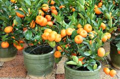 Calamondin tree with fruit and leaves Royalty Free Stock Photo