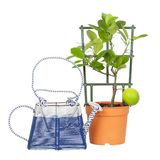Calamondin and watering Royalty Free Stock Photography