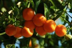 Calamondin Zitrusfrucht-Orangen Lizenzfreie Stockfotos