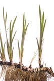 Calamus. Young plant calamus with root on white background Royalty Free Stock Image