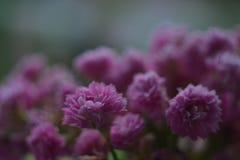 Calanchoe pica a flor fresca, flores da mola em casa Imagens de Stock