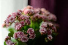 Calanchoe pink Flower Fresh, Spring flowers at home. Pink Flower Fresh, Spring flowers, calanchoe ,beautiful green background, open flower, warm colors stock photos