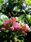 Calandiva blomma Royaltyfri Foto