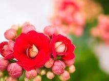 Calandiva blommor, bakgrundsbegrepp Arkivfoto