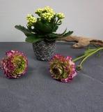 Calandiva di Kalanchoe con i bei fiori del ranunculus con legname galleggiante a fondo grigio fotografia stock