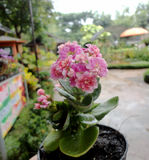 Calandiva,stone rose Royalty Free Stock Photography