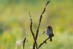 Calandra овсянки или Miliaria мозоли сидит и очищает пер на ветви стоковое изображение